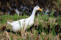 Duck on Paddy Field in Bali Indonesia Royalty Free Stock Photography