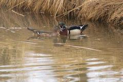Duck Pair de madera Fotografía de archivo