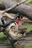 Duck Pair di legno Immagine Stock Libera da Diritti