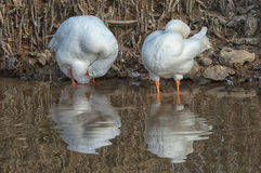 Duck pair. White duck pair and theirs reflection on water Royalty Free Stock Photos
