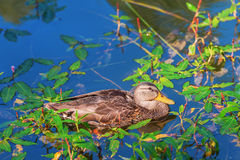 Duck in the palace pond, Peterhof, Russia. Duck and its reflection against the background of blue water and green foliage Royalty Free Stock Photography