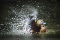 DUCK PALY WATER Stock Photos