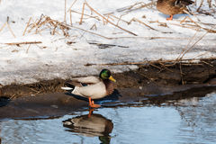 Duck. In the Park Kuzminki Royalty Free Stock Photography