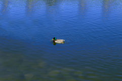 Duck in the park lake. Birds and animals in wildlife. Amazing mallard duck swims in lake or river with blue water under sunlight landscape. Closeup perspective Stock Photos