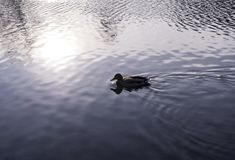 Duck on the park lake on the sunset at autumn. background, animal Royalty Free Stock Photos