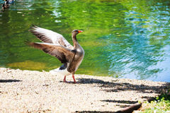 Duck in a park of London. UK Royalty Free Stock Images