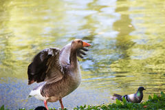 Duck in a park of London. UK Royalty Free Stock Photography
