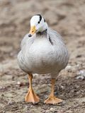 Duck in a park on the nature.  Royalty Free Stock Images