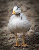 Duck in a park on the nature.  Royalty Free Stock Photo