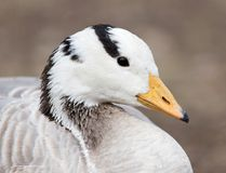 Duck in a park on the nature.  Stock Image