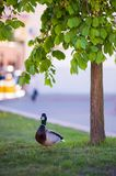 Duck in the park near the tree. Turned the beak forward royalty free stock photo