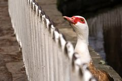 Duck in the park stock photography