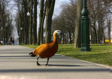 Duck in the park through people Stock Photography
