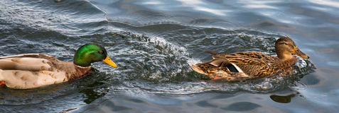 Duck Partnership Stock Photos