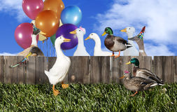 Duck Party. A group of domestic and wild ducks, some with party favors, gathered at wood fence for party or celebration Royalty Free Stock Images