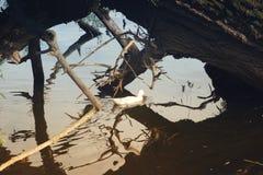 Duck, passando na lagoa sob uma árvore caída Fotos de Stock