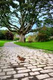 Duck on the pavement. A Mallard Duck on the Road Stock Photos