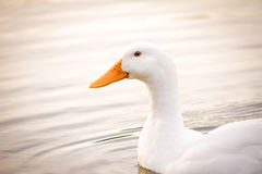 Duck Peking bianco Immagine Stock