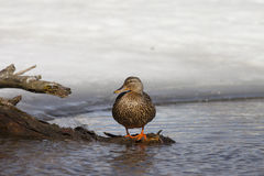 Duck perched upon branch. A duck perches upon a branch Royalty Free Stock Image