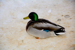 Duck. A duck with a piece of bread. animal in the Park Royalty Free Stock Photography