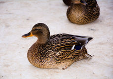 Duck. A duck with a piece of bread. animal in the Park Royalty Free Stock Image