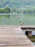 A duck on a pier with a lake in the background Stock Photos