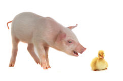 Duck and pig Stock Image