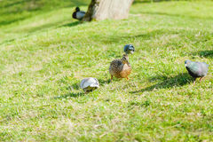 Duck and pigeon on the lawn. Duck and pigeon on a sunny day on a green lawn Stock Image