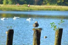 Duck at pillar near lake stock photography