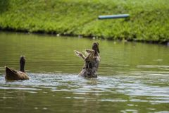 Duck is playing the water fun. royalty free stock photography