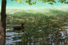 Duck at Plitvice Lakes Royalty Free Stock Image