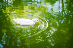 Duck plunging into water Royalty Free Stock Photos