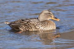 A duck at the edge of the ice Southampton Common Royalty Free Stock Images