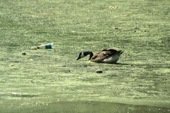 Duck in Pollution. A duck swimming and drinking from an algae-covered lake polluted with thick green slime and littered trash royalty free stock images