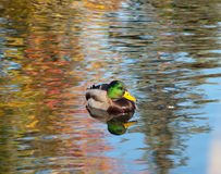 Duck Pond. A lone male mallard duck in a pond Royalty Free Stock Image