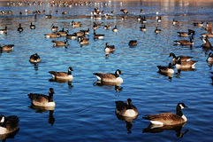 Duck Pond. Many ducks in a large lake floating about Stock Photography