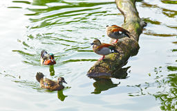 Duck in pond Stock Image