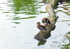 Duck in pond Royalty Free Stock Photography