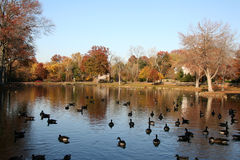 Duck Pond. In Autumn royalty free stock photography