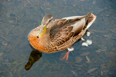 Duck in a pond Royalty Free Stock Image
