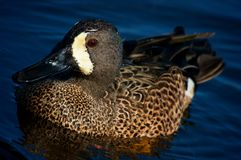 Duck in pond. Duck swimming in the pond Royalty Free Stock Photo