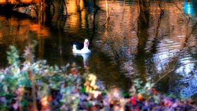 Duck in Pond. Duck in a pond Royalty Free Stock Images