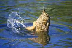 Duck on pond, Apache Canyon, Santa Fe, NM Royalty Free Stock Photo