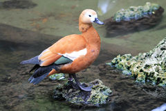 Duck by pond Stock Photography