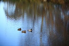 Duck pond in the autumn duck Royalty Free Stock Photography