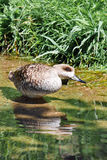 Duck in the pond Royalty Free Stock Image