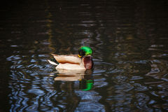 Duck on a pond Royalty Free Stock Photos
