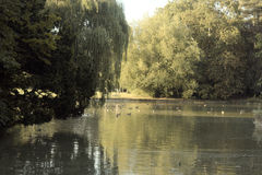 Duck Pond. At Bedford Park, England Royalty Free Stock Images