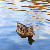 Duck on a pond Stock Photography