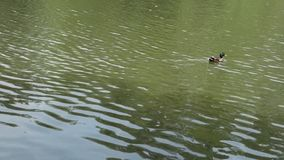 Duck in a Pond Stock Photos